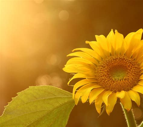 Sunflower Wallpapers Hd Pictures