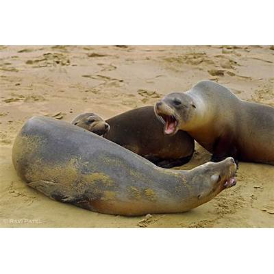 Galapagos Sea Lions – A Little DisagreementPhotos by Ravi