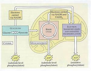 Oxidative Phosphorylation Concept Map | www.pixshark.com ...