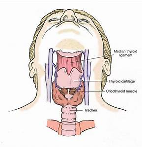 Anatomy Of The Human Throat Frontal View