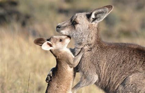 cruel slaughter  kangaroos  public reserves