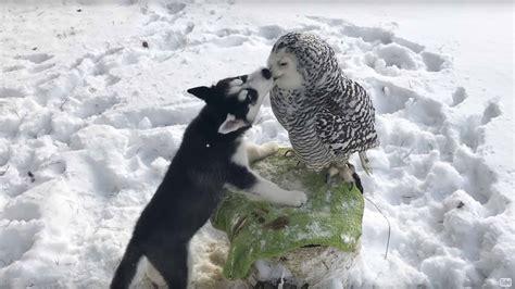 husky puppy  snowy owl   friends