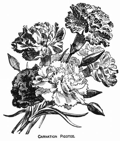 Flowers Carnation Carnations Tattoo Flower Drawing Coloring