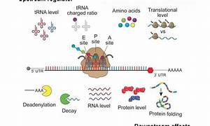 More Than A Protein Factory  A Role For Ribosomes In