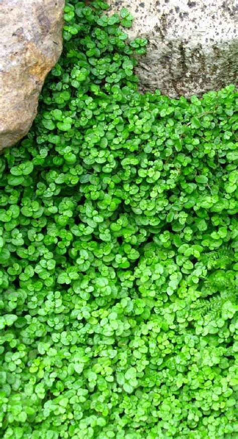 growing ground cover top 10 plants and ground cover for your paths and walkways