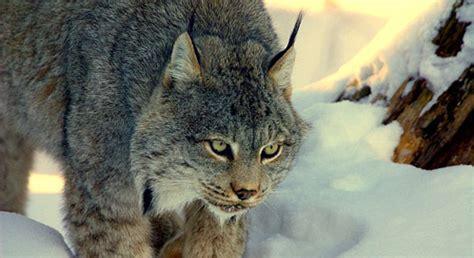 canada lynx basic facts  canada lynx defenders