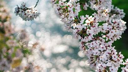 Cherry Flowers Blossoms Nature Bokeh Wallpapers Colors