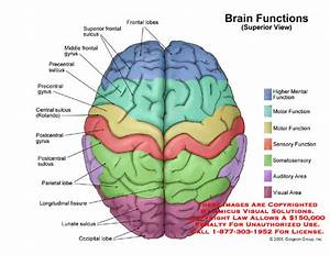 Diagram Of The Brain With Labels And Functions