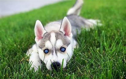 Husky 4k Siberian Siberiano Puppy Eyes Sfondi