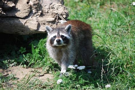raccoon control raccoon pest control