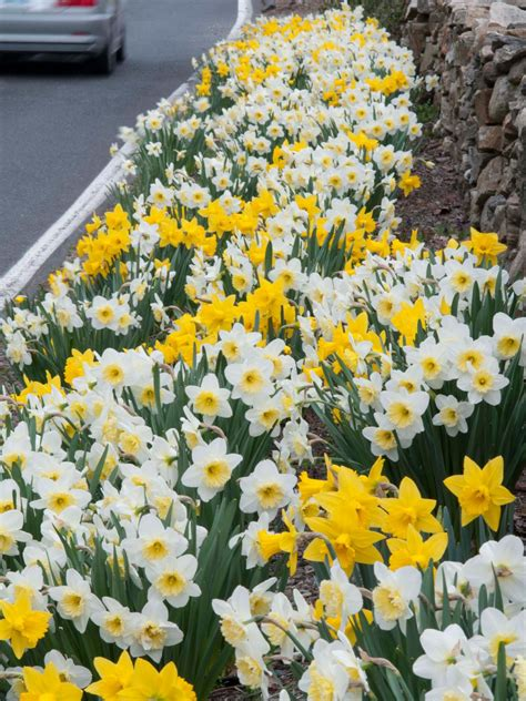 how to plan a roadside daffodil planting project diy