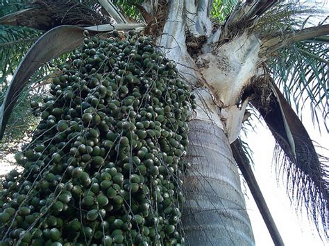 palm tree seeds palm tree seeds flickr photo sharing