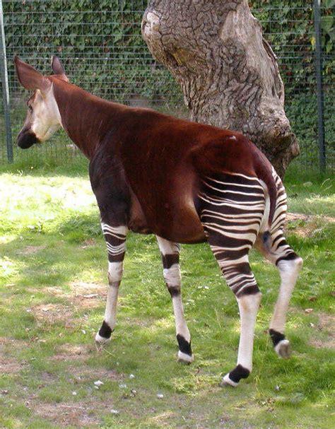 Giraffidae Wikipedia