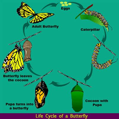 life cycle   butterfly science lessons  kids