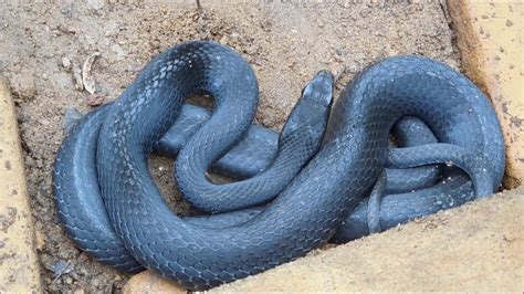 Black Garden Snake by Garden Snake Hideout Black Racer Snake Do Tongue