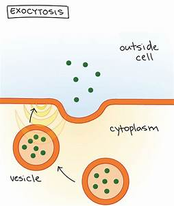 Exocytosis Diagram Gallery