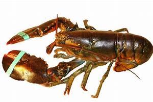 Live Maine Lobster - Boston Fish Market, Inc.