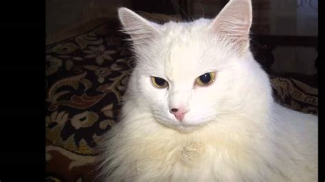 Photos Of My Cat Breed Turkish Angora