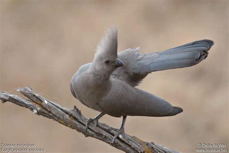grey go away bird corythaixoides concolor ref cadw20591