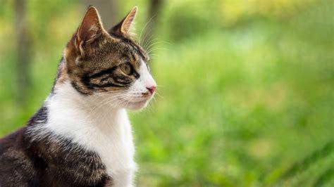 cat advice collecting  urine sample vetspets