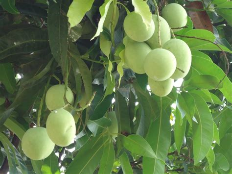 Mango Tree And Fruits Image