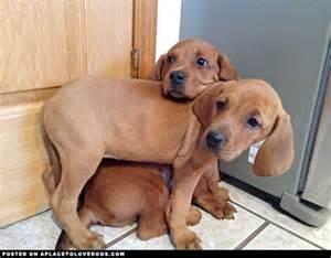 1000 ideas about redbone coonhound on pinterest plott