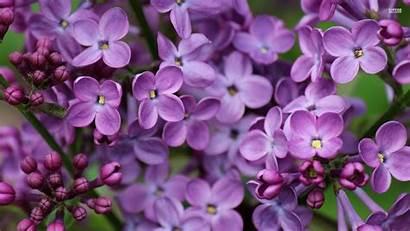 Lilac Wallpapers Lilacs Flower Flowers Computer Desktop