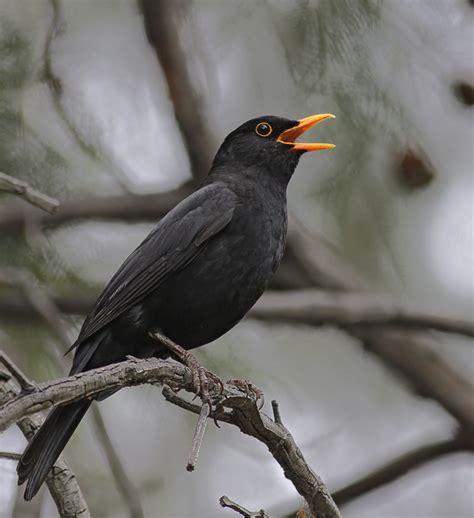 blackbirds next door nature