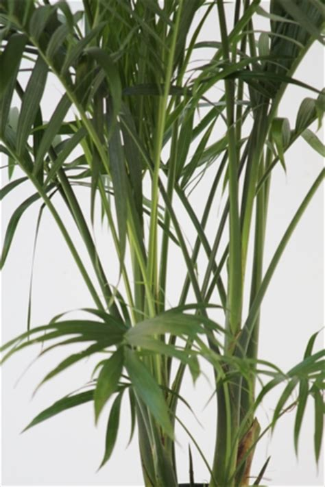 alpha botanical cat palm plant care profile