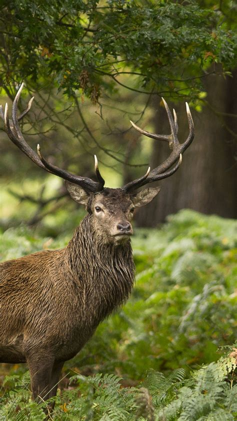 forest wild animal stag hd wallpapers