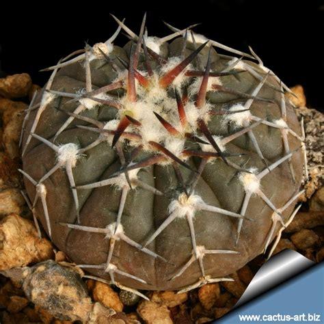 Gymnocalycium stellatum var. paucispinum (G. asterium paucispinum)