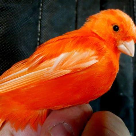 canary 127782 for sale in cranston ri