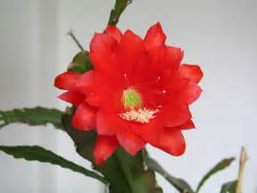 Orchid Nurseries by Caring For Eipiphyllums How To Grow Epiphyllum Cactus Plants