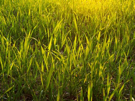 Gulf Annual Ryegrass Seed