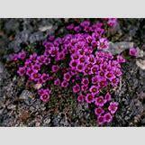 Purple Saxifrage   254 x 191 jpeg 11kB