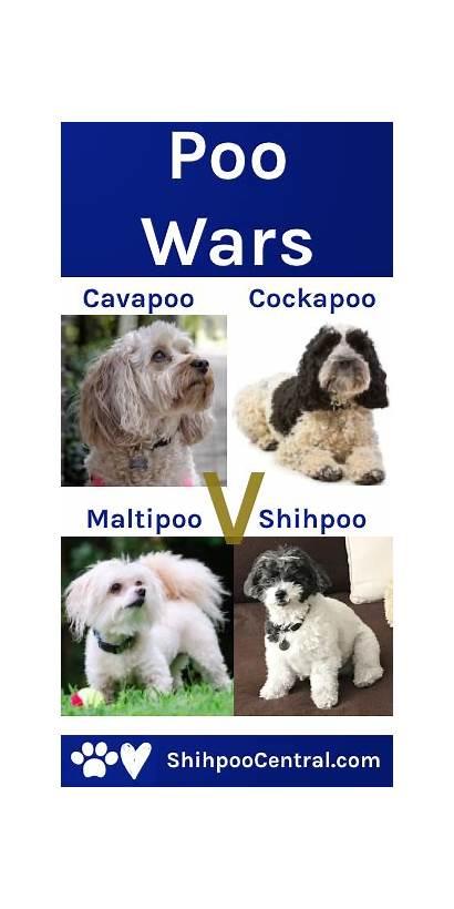 Cavapoo Poodle Maltipoo Breed Vs Cockapoo Shih