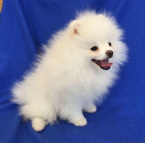 White Pomeranian puppy for sale | Bristol, Bristol ...