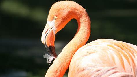 Beautiful Bird Flamingo HD Images   HD Wallpapers