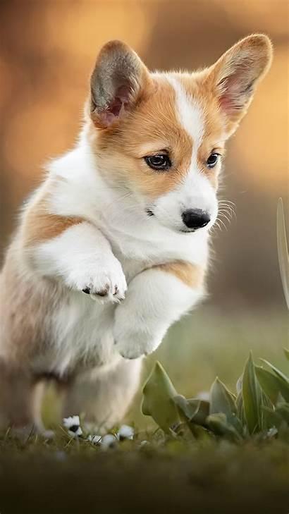 Dog Puppy Corgi 4k Pet Mobile Ultra
