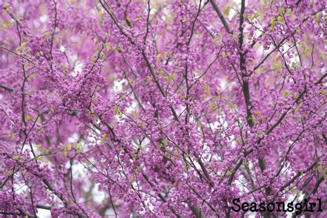 purple flowering tree a purple tree day seasonsgirl