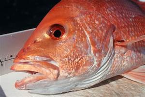 The Great Red Snapper Count | Harte Research Institute