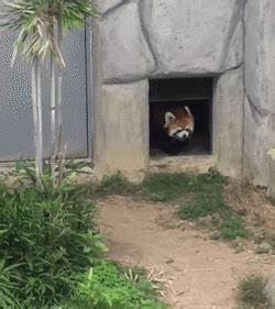 Red Pandas Scared Gif | www.pixshark.com - Images ...