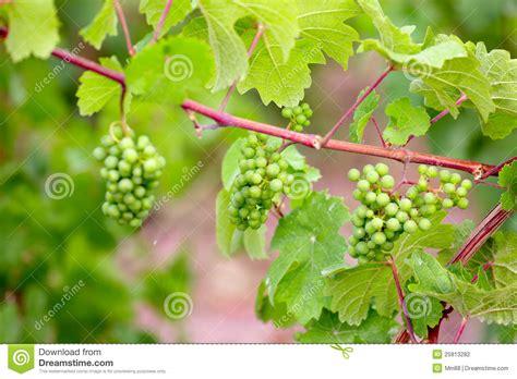 vine plants vine plants stock photo image of vineyard fruit twig 25813282