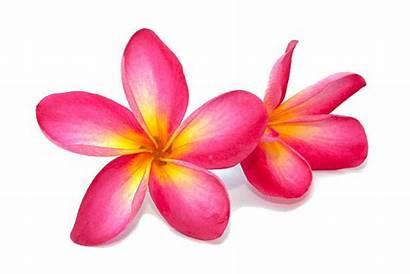 Plumeria Flower Yellow Pink Flowers Frangipani Bright