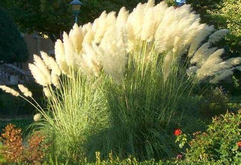 tipp pampasgras vor frost schuetzen