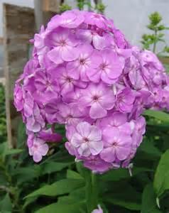 Phlox Flowers Perennial