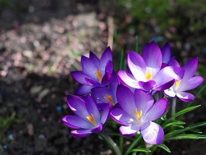Spring Season Flowers Nature Crocus Wallpapers Desktop