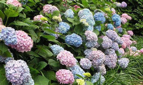 Do You Winter Gardening Blues by Alan Titchmarsh S Tips On Growing Hydrangeas In Your