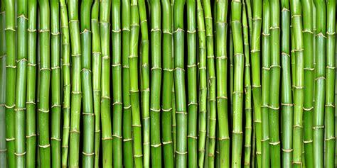 bamboo  rebel walls au