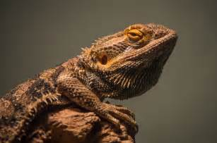 Bearded Dragon Funny Quotes